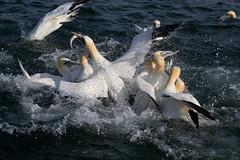 Gannet (drbut) Tags: gannet morusbassanus feedingfrenzy fish sea water northsea avian bird birds wildlife nature