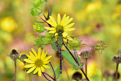 DragonFlyColors2 (2)Small (Rich Mayer Photography) Tags: dragonfly dragon fly helicopter insect insects animal animals nature flower flowers wild life wildlife nikon