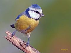Herrerillo Común (Cyanistes caeruleus) (10) (eb3alfmiguel) Tags: aves passeriformes insectivoro paridae herrerillo común cyanistes caeruleus