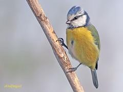 Herrerillo Común (Cyanistes caeruleus) (7) (eb3alfmiguel) Tags: aves passeriformes insectivoro paridae herrerillo común cyanistes caeruleus