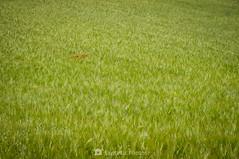 Minorías irreconciliables (SantiMB.Photos) Tags: 2blog 2tumblr 2ig gallecs mollet vallèsoriental vallès primavera spring campos fields trigo wheat amapolas poppies geo:lat=4154695679 geo:lon=219687611 geotagged molletdelvalles cataluna españa flores flowers