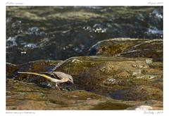 L'Allier sauvage (BerColly) Tags: france google flickr bercolly fish water birds eau des auvergne oiseaux wagtail puydedôme ruisseaux bergeronnette