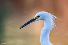 Egret in Profile (Jasper's Human) Tags: egret bokeh snowyegret bird
