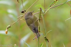 Nashville Warbler (akulkarn) Tags: birds warblers