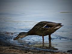 El agua es lo suyo (Luicabe) Tags: agua airelibre animal ave cabello corriente duero enazamorado exterior kodak luicabe luis naturaleza ngc pato reflejo río vertebrado yarat1 zamora zoom