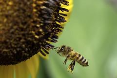 Biene im Flug / Bee in Flight (Deepmike70) Tags: wildlife animal insect bee sunflower summer macro closeup