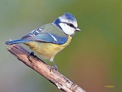 Herrerillo Común (Cyanistes caeruleus) (13) (eb3alfmiguel) Tags: aves passeriformes insectivoro paridae herrerillo común cyanistes caeruleus