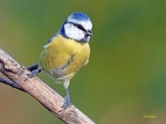 Herrerillo Común (Cyanistes caeruleus) (5) (eb3alfmiguel) Tags: aves passeriformes insectivoro paridae herrerillo común cyanistes caeruleus