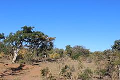 Spot the Kudu?? (Rckr88) Tags: spot kudu spotthekudu animals animal naturalworld nature outdoors travel travelling trees tree greenery green grass wilderness waterberggamepark limpopo southafrica waterberg game park south africa