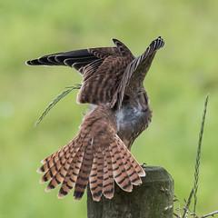 Feather Spread (nickinthegarden) Tags: americankestrel matsquitrailpark abbotsfordbccanada