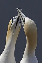 Gannet (JaneTurner68) Tags: gannet seabird bird greeting trouphead aberdeen scottishhighlands scotland canon1dmkiv canon600mmf4lens canon