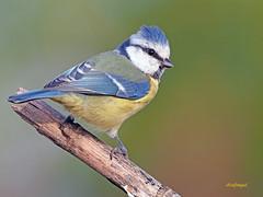 Herrerillo Común (Cyanistes caeruleus) (14) (eb3alfmiguel) Tags: aves passeriformes insectivoro paridae herrerillo común cyanistes caeruleus