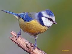 Herrerillo Común (Cyanistes caeruleus) (12) (eb3alfmiguel) Tags: aves passeriformes insectivoro paridae herrerillo común cyanistes caeruleus