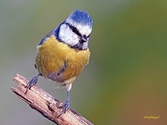 Herrerillo Común (Cyanistes caeruleus) (11) (eb3alfmiguel) Tags: aves passeriformes insectivoro paridae herrerillo común cyanistes caeruleus