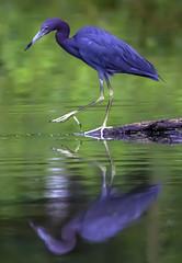 Little Blue Heron (crabsandbeer (Kevin Moore)) Tags: birds gbh heron nature northpointstatepark wildlife naps littleblueheron littleblue reflection marsh baltimore maryland talon