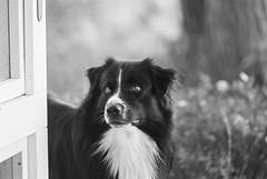 Rian 🐾 (unbunt.me) Tags: filmmeinfilmlabanalogwwwmeinfilmlabde film meinfilmlab analog wwwmeinfilmlabde aussie eos3 blackwhite canon bw dog blackandwhite ilford hund australianshepherd