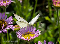 wood white (daverigleyphotos) Tags: woodwhite olympus em1mk2 300mmpro flowers colours nature butterfly macro