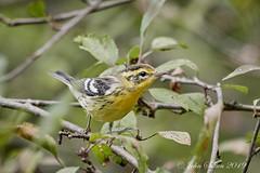 Blackburnian Warbler (johnsutton580) Tags: corinth vermont unitedstates