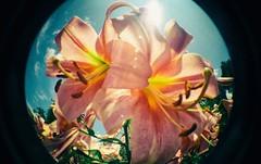 Lomo (Crusty Da Klown) Tags: lomo lomography fisheye film kodak flowers lilies summer sun flare bc britishcolumbia canada scripture round circle color colors beautiful pretty outdoors outside