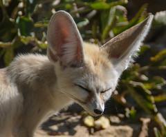 Grandi orecchie (giorgiorodano46) Tags: september settembre2019 2019 giorgiorodano animali bioparco giardinozoologico zoo orecchie