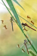 Sympetrum pedemontanum trio (Sergio Stella) Tags: odonata libellula dragonfly