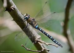 Aeshna mixta (De Hollena) Tags: aeschnemixte aeshnamixta dragonfly herbstmosaikjungfer libel libelle libellula libellule migranthawker paardenbijter