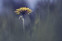 Friend of Bees (shawn~white) Tags: morning flower beauty grass yellow cool bokeh dandelion glowing dreamy trippy bliss magical gentle softlight enchanting ©shawnwhite macro closeup