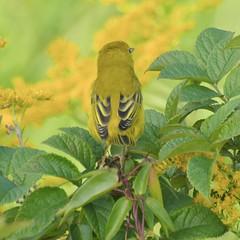 Yellow Warbler From The Rear, Eastern Promenade (Bill Bunn) Tags: yellowwarbler portland maine