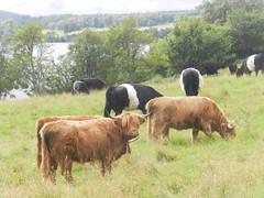 Friendly Cows near Loch Duntelchaig, Aug 2019 (allanmaciver) Tags: highland cattle belted galloway friendly field trees duntlechaig loch strathnairn allanmaciver