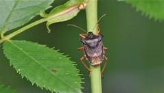 Forest Shield Bug      (Pentatoma rufipes) (nick.linda) Tags: insects bugs shieldbug northeastengland pentatomarufipes forestshieldbug canon7dmkii canon100400mkll handheld oneshot