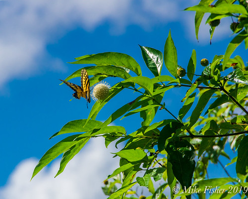 Tiger Swallowtail and American Buttonbush
