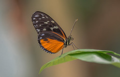 Hosszúszárnyú tigrislepke (Heliconius hecale) (Torok_Bea) Tags: hosszúszárnyútigrislepke heliconiushecale lovely lepidoptera beautiful butterfly amazing awesome nikon nikond7200 nature natur sigma sigmalens sigma150mm macro wonderful fantastic heliconius