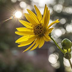 Sunflower 02 (jolynne_martinez) Tags: kansascity missouri unitedstates bokeh light sunlight sunflower flower flowers flowering wildflower yellow wildflowers nativeplant native outside nature nikkor nikon nikond60 macro flickraward