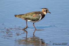 Vanneau huppé (jean-louis21) Tags: camargue oiseaux vanneau huppé bird