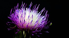 A weed to some but home to others (1ManWAC) Tags: weed flower thistle purple yellow spider macro
