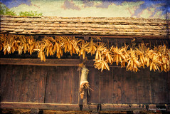 Drying Corn (fs999) Tags: 100iso fs999 fschneider aficionados zinzins pentaxist pentaxian pentax k1 pentaxk1 fullframe 24x36 justpentax flickrlovers ashotadayorso topqualityimage topqualityimageonly artcafe pentaxart corel paintshop paintshoppro 2019ultimate paintshoppro2019ultimate écomusée alsace ungersheim hautrhin france pentaxfa35mmf2al fa35 35mm f2 f20 fa35f2 topaz labs texture effects 2 textureeffects textureeffects2