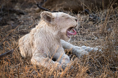 BIG YAWN (alicecahill) Tags: cub wild southafrica ©alicecahill mammal ngalaprivategamereserve wildlife animal rare white sonya9 africa juvenile lion