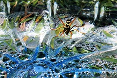 Thirsty (montseny visions) Tags: insect naturephotography nature colors colours wildlife macro outdoor field beauty wild natural naturalworld ngysa earth palautordera catalunya catalonia wasp