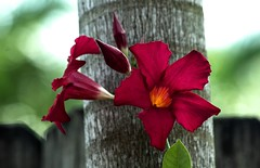 Go Climb A Tree (ACEZandEIGHTZ) Tags: mandevillasanderi magnumsangria fence nikond3200 flower buds unopened opened bokeh woodenfence palmtrunk christmas red flowers petals floral blumen inbloom garden coth5 coth sunrays5 alittlebeauty