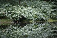 Prêt pour l'automne (Fabien Husslein) Tags: fougere fern vosges france nature reflet reflection mirror symmetry