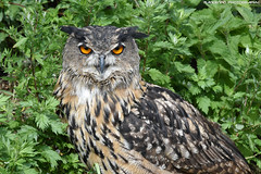 European eagle owl - Falconry fair (Mandenno photography) Tags: animal animals dierenpark dierentuin dieren ngc nature nederland netherlands falconry falconryfair fair bird birds eagle eagleowl owl owls bbcearth discovery natgeo natgeographic