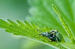 Rüsselkäfer - Blau02_tn (O. Lympus) Tags: insekten käfer rüsselkäfer
