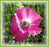 Poppy (ERIK THE CAT Struggling to keep up) Tags: staffordshire flowers colton ngc flies diptera npc
