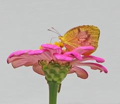 Sleepy Orange in pink (Vicki's Nature) Tags: sleepyorange sulphur small butterfly yellow pink zinnia blossom flower yard georgia vickisnature canon s5 0262