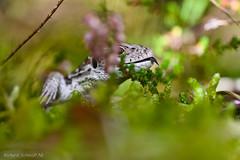Lacerta agilis (De Hollena) Tags: duinhagedis lacertaagilis lagartoágil lézarddessouches sandlizard zandhagedis zauneidechse