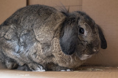Soft (syf22) Tags: rabbit pet animal fur soft softie ear large hare pika rodent buck chinchilla doe bunny