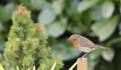 Rouge-gorge familier (chriscrst photo66) Tags: bird animal oiseau rougegorge familier gironde passereau photographie photography nature wildlife ornithologie ornithology