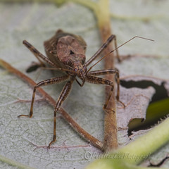 _IMG9675 Ant Damsel Bug - Himacerus mirmicoides (Pete.L .Hawkins Photography) Tags: ant damsel bug himacerus mirmicoides petehawkins petelhawkinsphotography petelhawkins petehawkinsphotography 150mm macro pentaxpictures pentaxk1 petehawkinsphotographycom rotherhamphotographer irix f28 11 fantasticnature fabulousnature incrediblenature naturephoto wildlifephoto wildlifephotographer naturesfinest unusualcreature naturewatcher minibeast tiny creatures creepy crawly wildlife insectphoto bugphoto insect invertebrate 6legs compound eyes uglybug bugeyes fly wings eye veins flyingbug flying