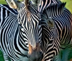 Stripes (Aardwolf6886) Tags: equusquaggaboehmi grantszebra devon dzp dartmoor dartmoorzoo zebra sony ilca99m2 sal70400g2 sparkwell