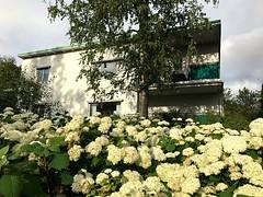 Late Summer Flowers (halleluja2014) Tags: flowers flowering blommor dalarna falun hortensia latesummer sensommar seminariegatan gräddvita britsarvet summer august